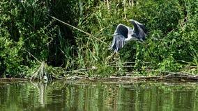 Grijze reiger in riet bij de delta van Donau in Roemenië stock fotografie