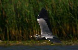 grijze reiger tijdens de vlucht met een vis royalty-vrije stock foto's