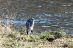 Grijze reiger wilde vogel die zich op de rivierbank bevinden in de winter royalty-vrije stock foto