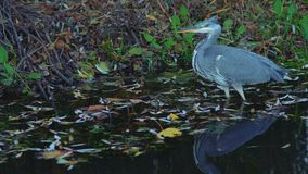 Grijze reigervogel die vissen vangen stock video