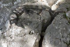 Grijze reptiel of hagedis op rotsen met grote staart Stock Afbeelding