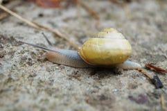 Grijze slak met gele shell Stock Foto