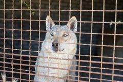 Grijze slechte wolf in een ijzerkooi in een dierentuin Het leven in gevangenschap stock foto's
