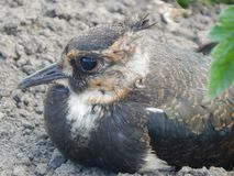 Grijze steppemeeuw - mooie, trotse en vrije vogel stock fotografie
