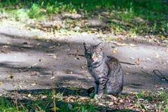 Grijze straatkat bij grondweg zitting en het likken Stock Afbeeldingen
