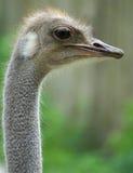 Grijze struisvogel Stock Afbeeldingen