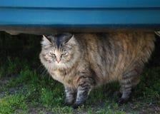 Grijze tabby kat Stock Afbeeldingen