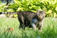 Grijze tabby kat op de jacht royalty-vrije stock afbeelding