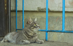 Grijze verdwaalde kat in werf Royalty-vrije Stock Fotografie