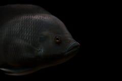 Grijze vissen Royalty-vrije Stock Afbeeldingen