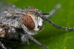 Grijze vlieg die met de regendalingen van dauwdalingen wordt behandeld Royalty-vrije Stock Afbeeldingen