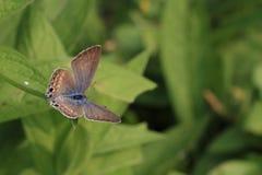 Grijze vlinder Royalty-vrije Stock Fotografie