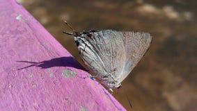Grijze vlinder Stock Afbeelding
