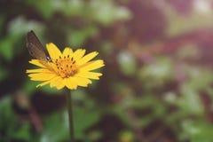 Grijze vlinder op gele bloem royalty-vrije stock foto