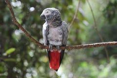 Grijze vogel met gebogen piek rode en zwarte staart royalty-vrije stock afbeelding