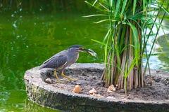 Grijze vogel visserij Royalty-vrije Stock Fotografie