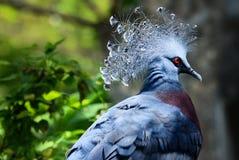Grijze vogels met rode ogen Royalty-vrije Stock Afbeeldingen