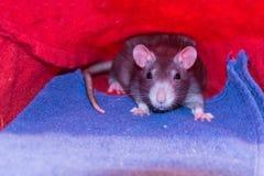 Grijze voorzichtig jonge ratten die in de verre hoek van een voddenmink zitten die verrast de camera bekijken royalty-vrije stock afbeeldingen