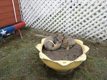 Grijze vossen op bloempotencia 2 Royalty-vrije Stock Afbeelding