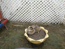 Grijze vossen op bloempotencia 2 Stock Foto
