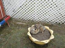 Grijze vossen op bloempotencia 2 Stock Fotografie