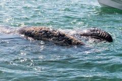 Grijze walvis terwijl het blazen voor ademhaling royalty-vrije stock fotografie
