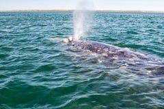 Grijze walvis terwijl het blazen voor ademhaling stock foto
