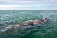 Grijze walvis terwijl het blazen voor ademhaling royalty-vrije stock foto's