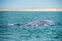 Grijze walvis terwijl het blazen voor ademhaling stock afbeeldingen