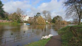 2 grijze witte zwanen op overstroomde rivierweg Stock Foto's