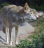 Grijze wolf 1 Royalty-vrije Stock Foto's