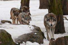 Grijze wolf. Royalty-vrije Stock Foto's