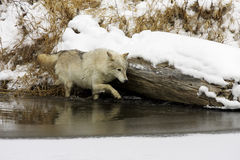 Grijze Wolf Royalty-vrije Stock Foto