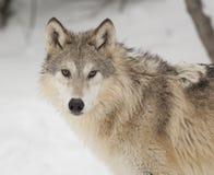 Grijze wolf Stock Foto