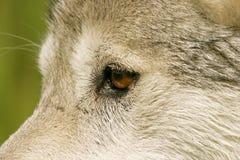 Grijze wolf Royalty-vrije Stock Foto's