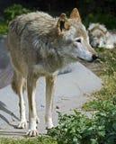 Grijze wolf 2 Stock Foto's