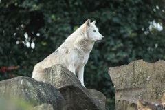 Grijze wolf. Stock Fotografie