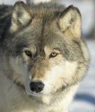 Grijze wolf Stock Fotografie