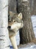 Grijze wolf royalty-vrije stock fotografie