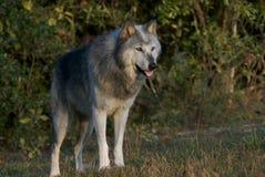 Grijze Wolf Stock Foto's