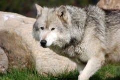 Grijze Wolf 9 Stock Afbeeldingen
