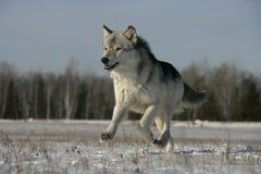 Grijze wolf, Canis-wolfszweer stock foto
