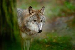 Grijze wolf, Canis-wolfszweer, in het groene portret van het bladeren bosdetail van wolf in de bos het Wildscène van het noorden  royalty-vrije stock afbeelding