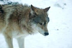 Grijze wolf in de sneeuw Stock Afbeeldingen