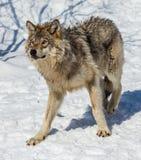 Grijze Wolf in de Sneeuw Royalty-vrije Stock Afbeelding