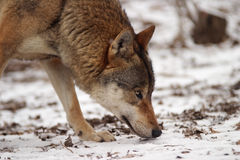 Grijze Wolf in de winter Royalty-vrije Stock Afbeeldingen