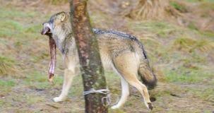 Grijze wolf die met een vlees in de mond in het bos lopen stock video