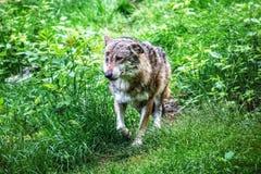 Grijze wolf die op gras lopen stock foto's