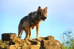 Grijze Wolf die prooi zoekt royalty-vrije stock foto
