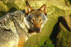 Grijze Wolf die prooi zoekt stock afbeeldingen
